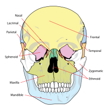 xương xọ nhìn từ phía trước