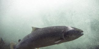cá hồi